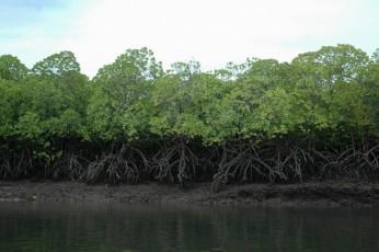 kenia-05 mangrovie